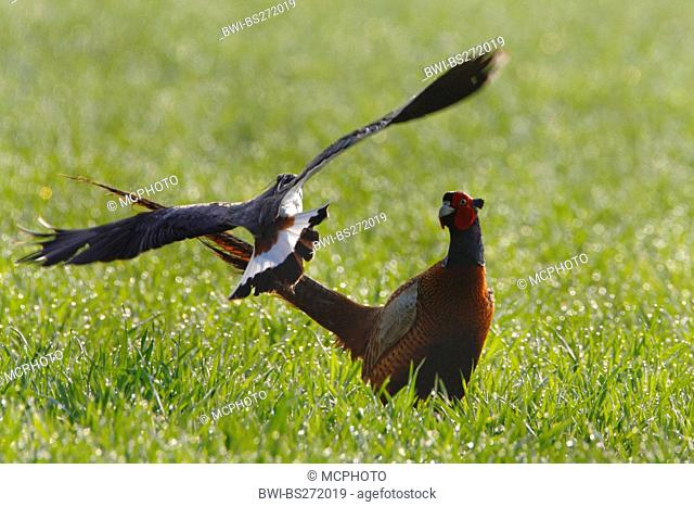 northern lapwing Vanellus vanellus, with pheasant in a meadow, Germany