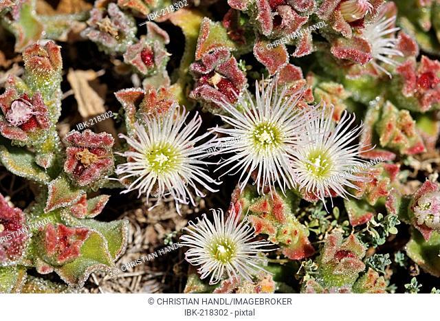Iceplant (Mesembryanthemum crystallinum) on the peninsule Ponta de Sao Lourenco (Nature reserve), Madeira, Portugal
