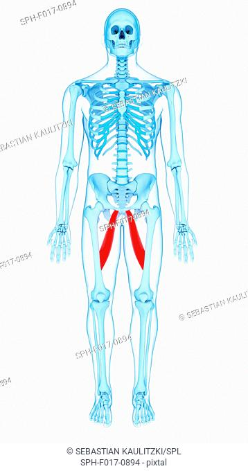 Illustration of the adductor longus muscles