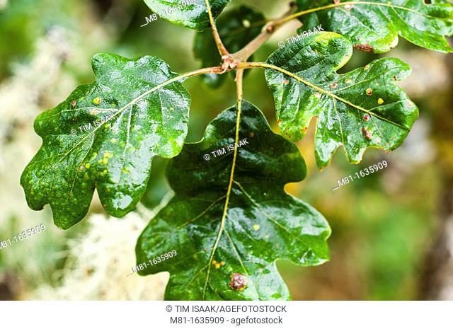Garry Oak Quercus garryana leaves, Oak Haven Park  Brentwood Bay, British Columbia, Canada