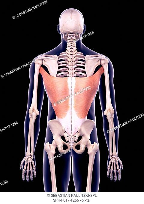 Illustration of the latissimus dorsi muscles