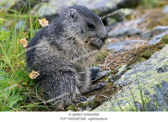 Alpine marmot (Marmota marmota) juvenile feeding in alpine pasture in summer, Hohe Tauern National Park, Carinthia, Austria