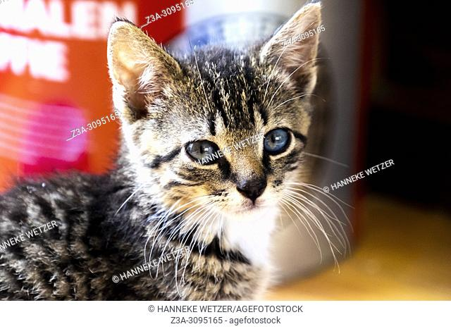 Portrait of a cute kitten with bright blue eyes