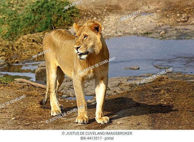 African lion (Panthera leo), young male, Serengeti National Park, Tanzania