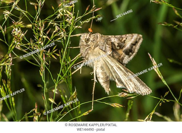 Germany, Saarland, Bexbach - A silver Y moth is sitting on a grass-stock