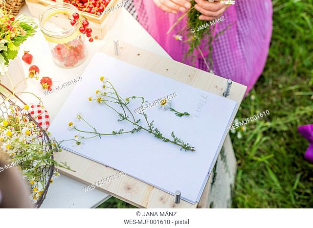 Germany, Saxony, drawing board, paper and chamomile flowers
