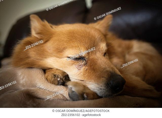 Female spitz resting on couch. Barcelona. Catalonia. Spain