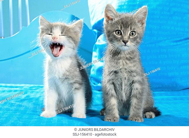 domestic cat - two kittens sitting on a bed