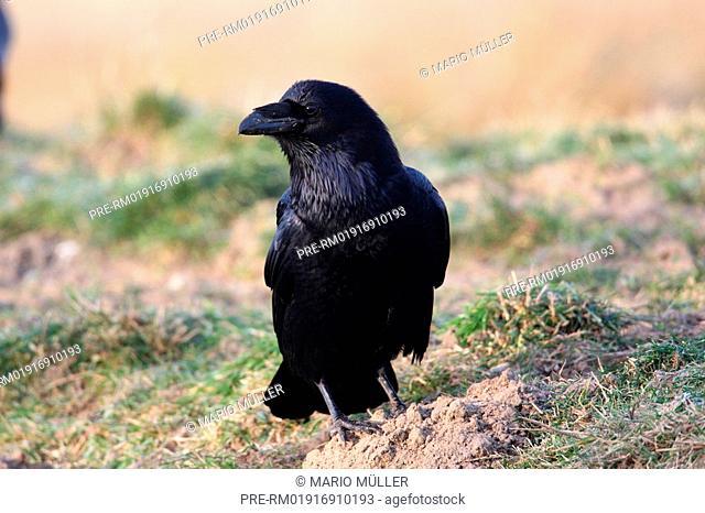 Common Raven, Corvus corax, Germany, Europe