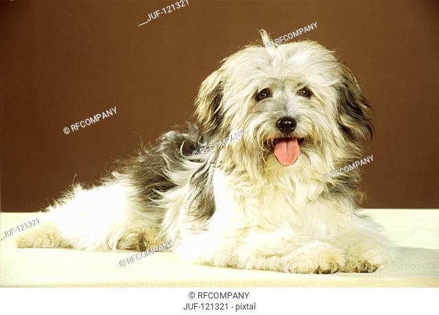 half breed dog - lying