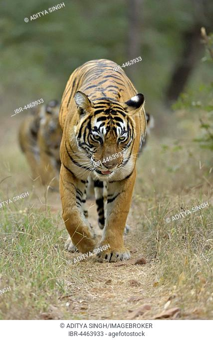 Bengal Tigers (Panthera tigris tigris), mother with cubs, walking on a forest path , Ranthambhore National Park, Rajasthan, India