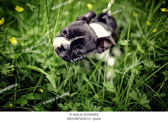 Germany, Rhineland-Palatinate, Boston Terrier, Puppy