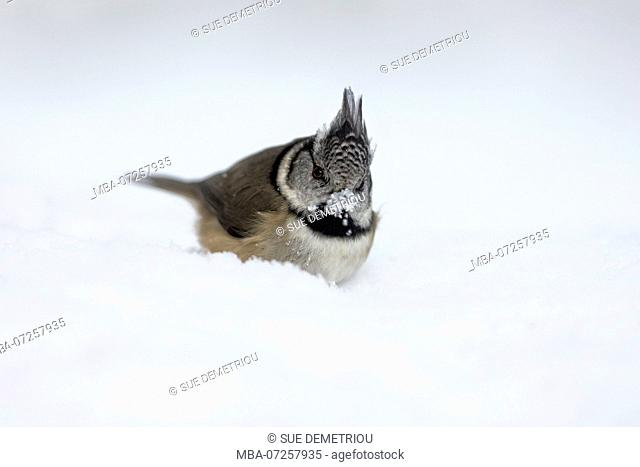 Crested tit in snow, beak covered in snow like snowball