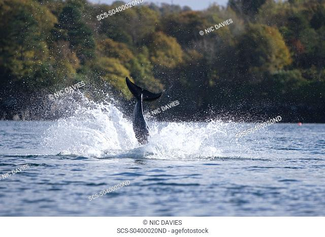 Bottlenose dolphins Tursiops truncatus in Tobermory Bay - home of Balamory TV show This group of dolphins are resident in the Hebrides but are hard to find and...