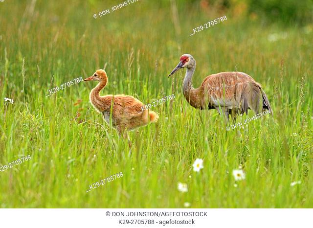 Sandhill crane (Grus Canadensis) Adult and young, Munising, Michigan, USA