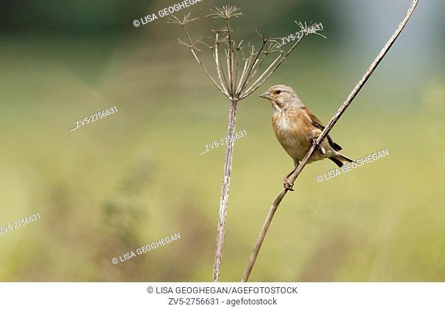 Male Common Linnet-Carduelis cannabina