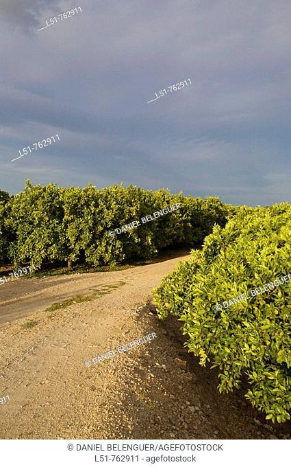 Orange trees are very common in Alberique, Ribera, Valencia, Comunidad Valenciana, Spain, Europe