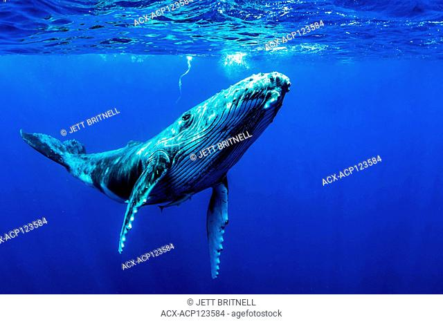Juvenile Humpback whale, Megaptera novaeangliae, approximately five miles offshore, Moorea, Tahiti