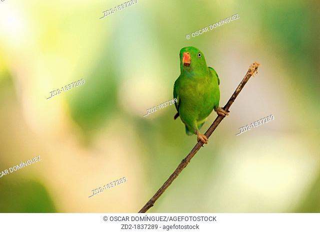 Vernal Hanging Parrot Loriculus vernalis perched on branch and looking up  Kaeng Krachan National Park  Thailand