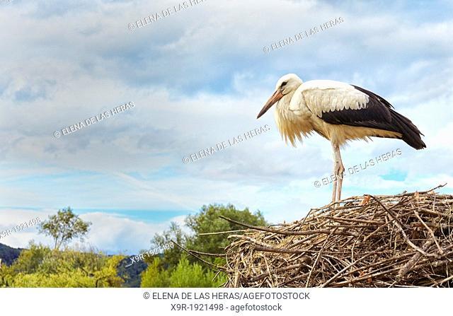 Stork at nest  Stork and Otter protection centre  Hunawihr  Haut-Rhin  Alsace  France