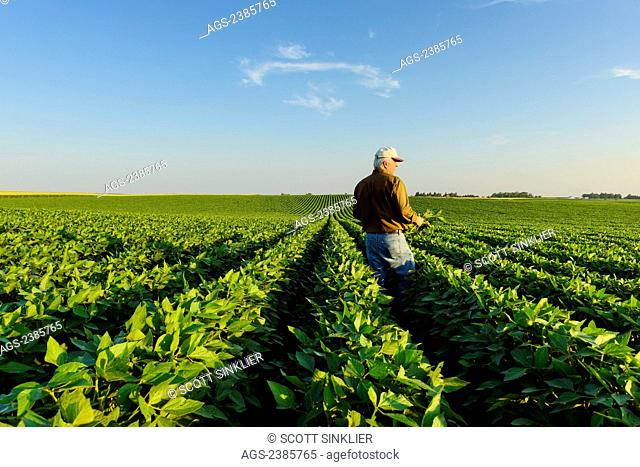 Agriculture - A farmer looks out across his mid-season soybean field while inspecting his crop in early summer / Iowa, USA