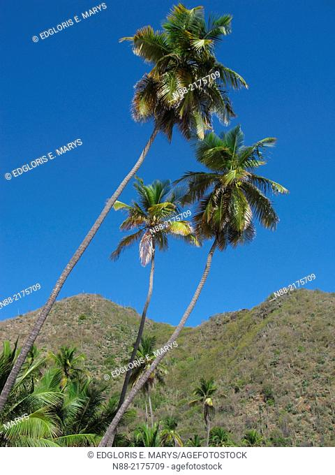 Coconuts palms in Choroni beach, Henri Pittier National Park, Venezuela