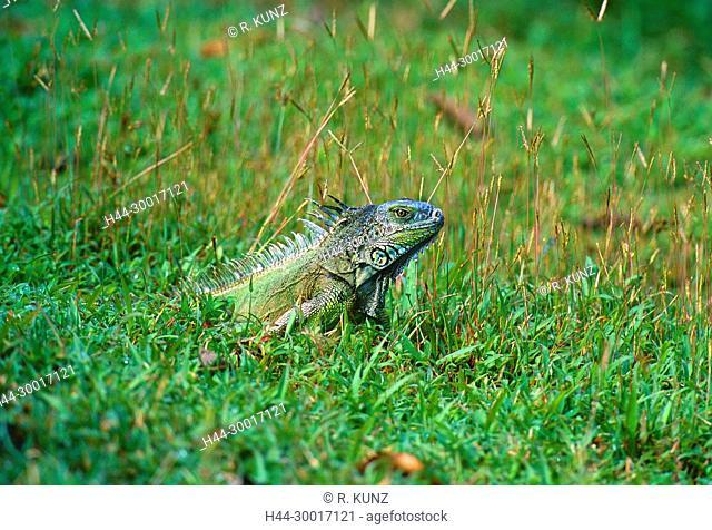 Green Iguana, Iguana iguana, Iguanidae, Iguana, reptile, animal, Selva Bananita Lodge, Costa Rica