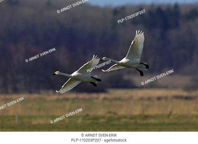 Two tundra swans (Cygnus columbianus) / Bewick's swans (Cygnus bewickii) landing in grassland in spring