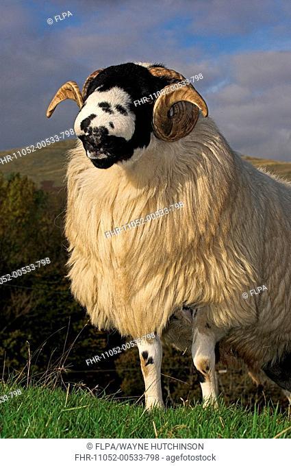 Domestic Sheep, Rough Fell, ram, close-up, ready for autumn sales, Sedbergh, Cumbria, England