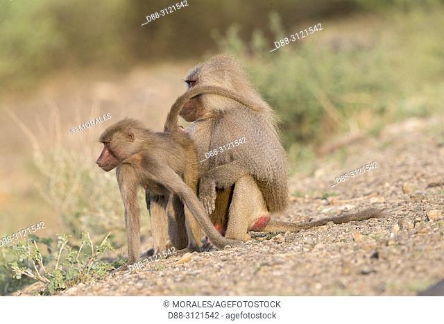 Africa, Ethiopia, Rift Valley, Awash, Hamadryas baboon (Papio hamadryas), Dominant male and a female, the female is asking for coupling