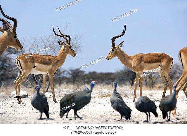Male Impalas facing off at Onkolo Hide, Onguma Game Reserve, Namibia, Africa