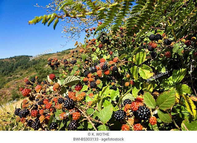 shrubby blackberry (Rubus fruticosus), blackberries on a bush, France, C?vennes