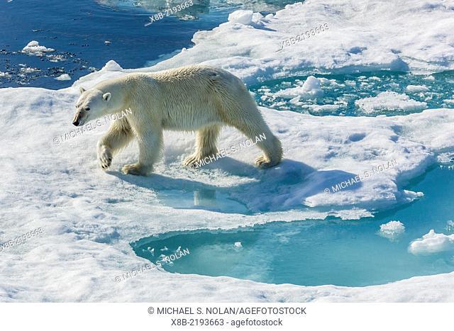 Curious polar bear, Ursus maritimus, in the fog, Cumberland Peninsula, Baffin Island, Nunavut, Canada