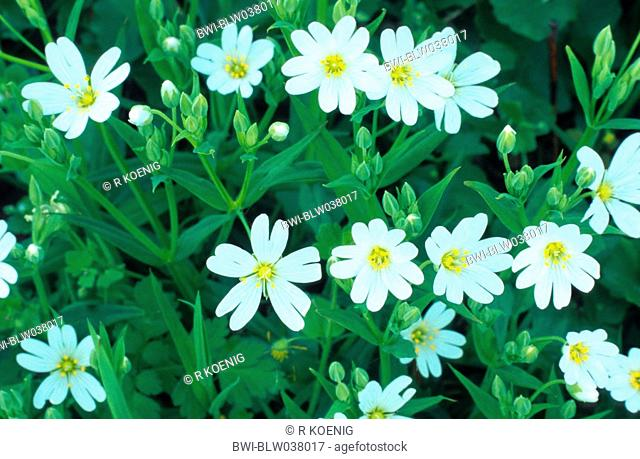easterbell starwort, greater stitchwort Stellaria holostea, blooming