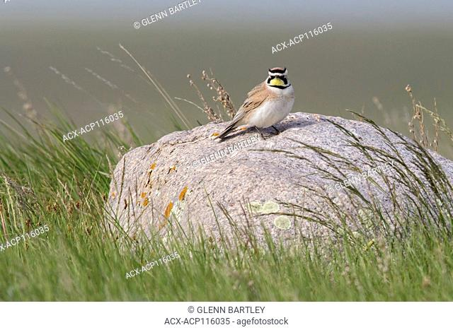 Horned Lark (Eremophilia alpestris) perched on a branch in Alberta, Canada