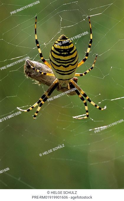 Black And Yellow Garden Spider, female, with, grasshopper, Argiope bruennichi