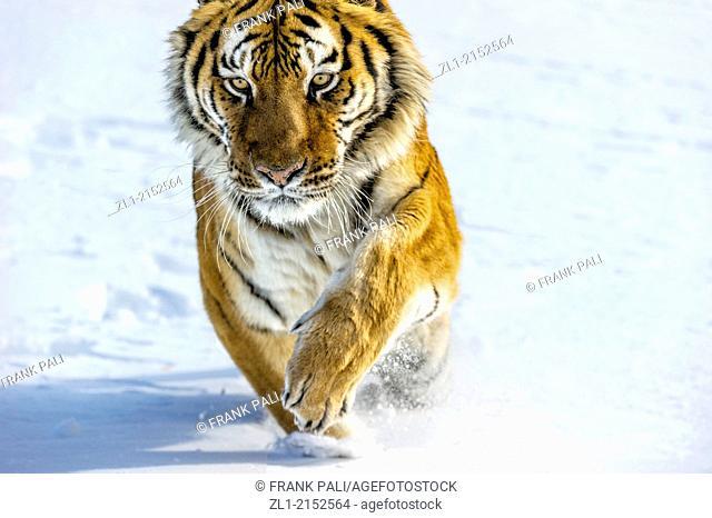 Siberian/Amur tiger (Panthera tigris altaica), Bozeman, Montana, USA