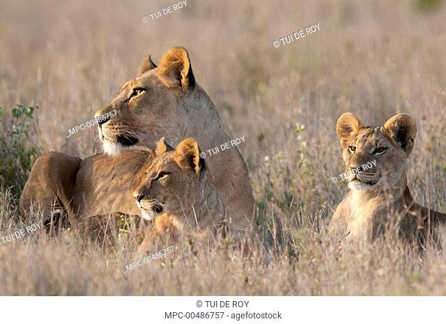 African Lion (Panthera leo) female and cubs, Borana Ranch, Kenya