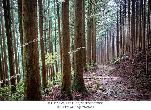 Path in Ogumotori-goe section, Kumano Kodo, Nakahechi route, Wakayama, Kinki, Japan
