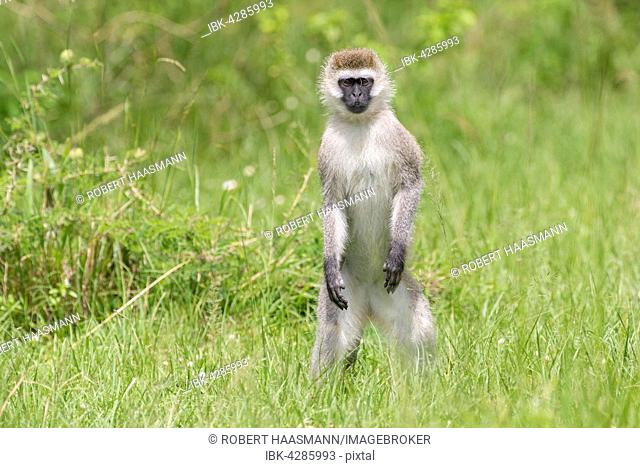 Vervet monkey (Chlorocebus) standing in the grass, Lake Mburo National Park, Uganda