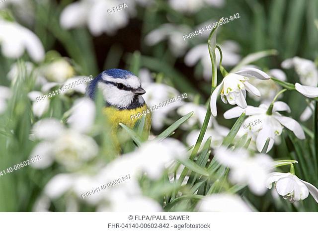 Blue Tit (Parus caeruleus) adult, standing amongst Snowdrop (Galanthus nivalis) flowers, Suffolk, England, February