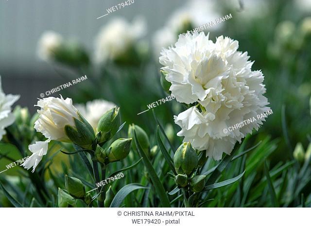 White carnation flowers. Spring garden series, Mallorca, Spain