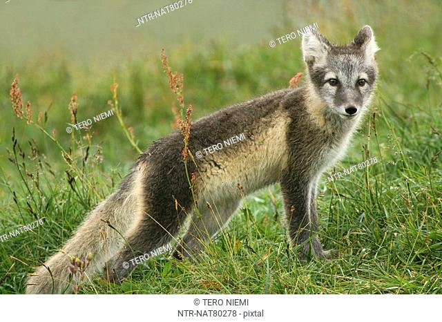 Arctic fox, Jamtland, Sweden