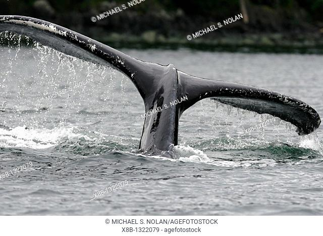 Close up of fluke-up dive from adult humpback whale Megaptera novaeangliae cooperatively bubble-net feeding in Freshwater Bay on Chichagof Island in Southeast...