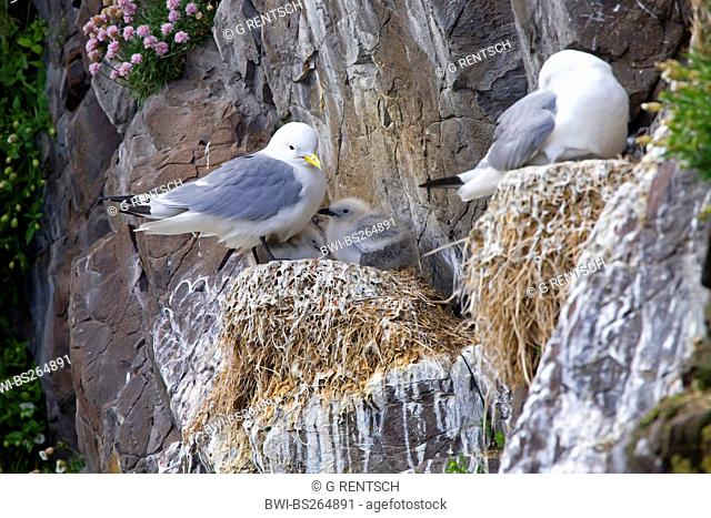 black-legged kittiwake Rissa tridactyla, Larus tridactyla, two nests in a rock wall, one with chicks, one being incubated, Iceland