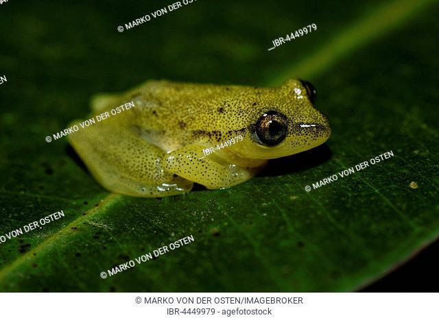 Frog (Heterixalus betsileo), Andasibe National Park, Madagascar