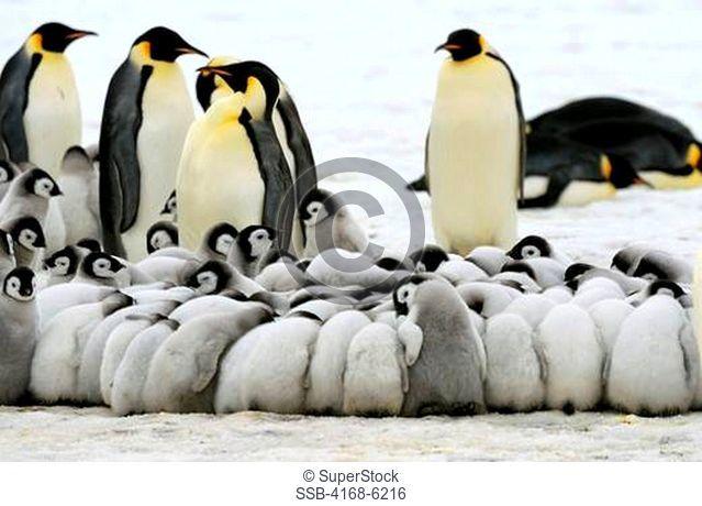 ANTARCTICA, WEDDELL SEA, SNOW HILL ISLAND, EMPEROR PENGUINS Aptenodytes forsteri, COLONY, CHICKS HUDDLING TO KEEP WARM
