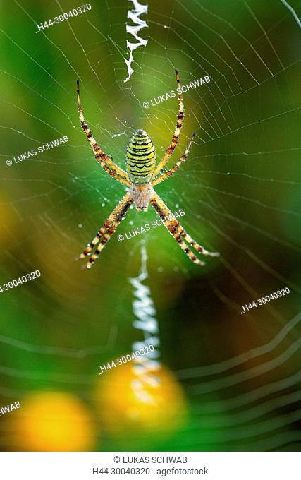 Argiope bruennichi, Nature, Insect, Switzerland, wasp spider, Spider