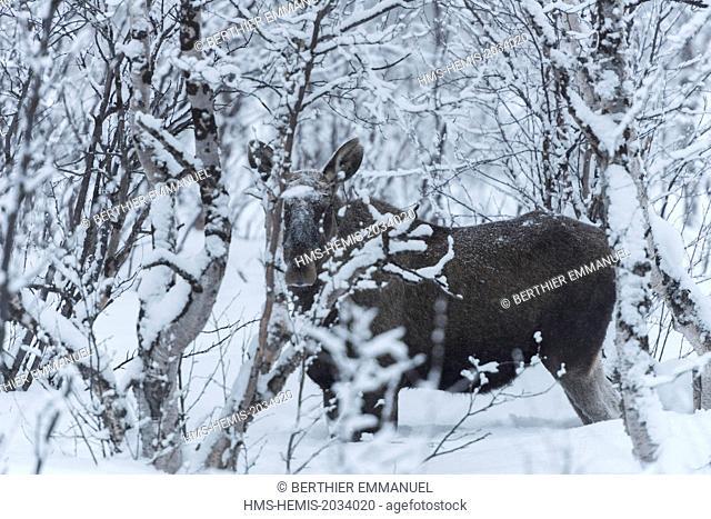 Sweden, Lapland, Norrbotten, Gällivare, Moose in Swedish Lapland near Nikkaluokta