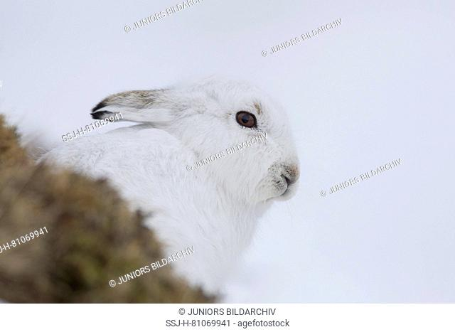 Mountain Hare (Lepus timidus). Portrait of adult in white winter coat (pelage). Cairngorms National Park, Scotland